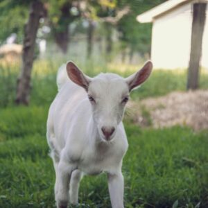 Emerald Farm Goats