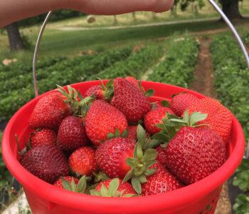 South Carolina strawberries at Stewart Farms