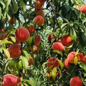 Titan Farms Peaches