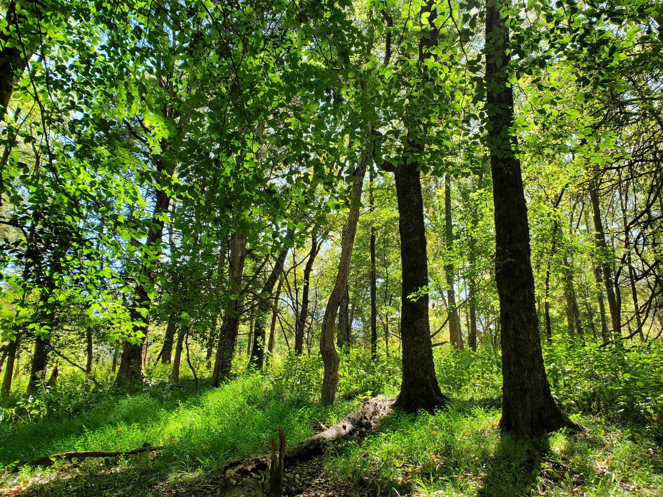 british camp trail trees