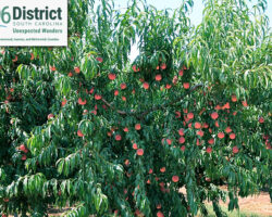 Peach-Tree-Zoom