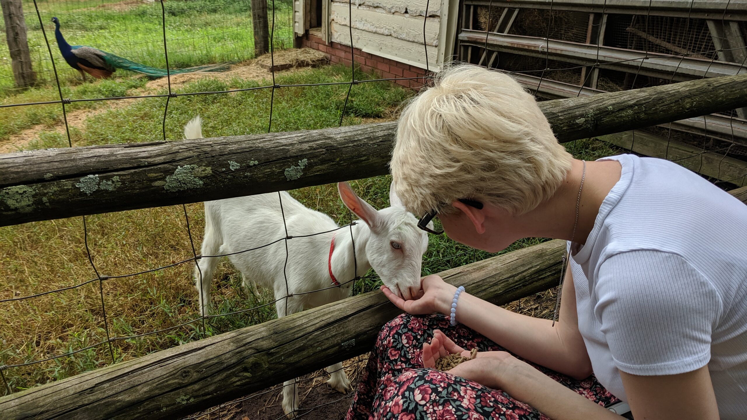 petting goats in the spring at Emerald Farm
